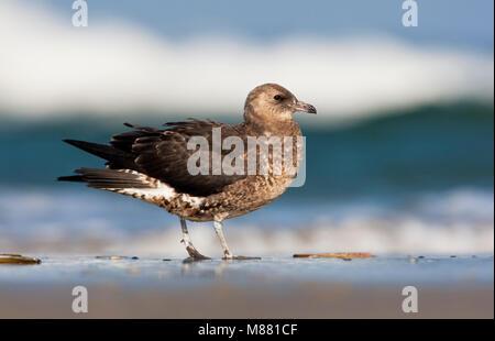 Middelste Jager, Pomarine Skua, Stercorarius pomarinus - Stock Photo