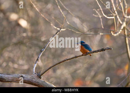 Kingfisher, Alcedo atthis, Single adult female perched in tree, Essex, UK - Stock Photo