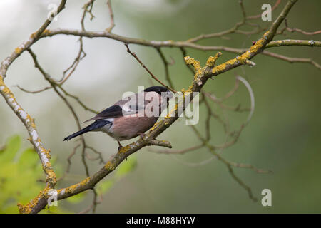 Bullfinch, Pyrrhula pyrrhula, single adult female perched in tree.  Worcestershire, UK. - Stock Photo