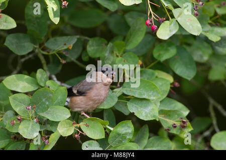 Bullfinch, Pyrrhula pyrrhula, single adult female feeding on fruits of Amelanchier canadensis. Worcestershire, UK. - Stock Photo