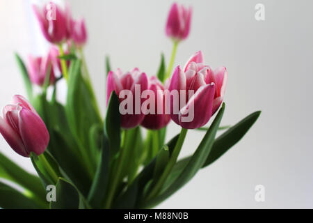 A bouquet of pink tulips on white background. Spring flowers. - Stock Photo