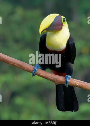 Swainson-toekan, Chestnut-mandibled Toucan - Stock Photo