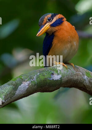 Maleise Bosijsvogel, Rufous-collared Kingfisher - Stock Photo