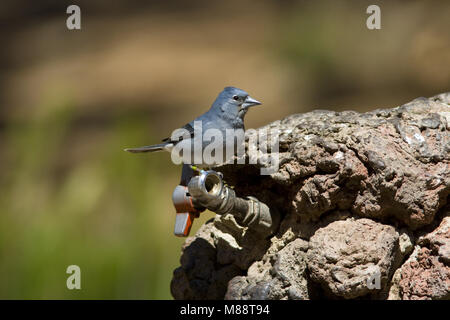 De Blauwe vink is endemisch voor de Tenerife en Gran Canaria; Blue Chaffinch is endemic to Tenerife and Gran Canaria - Stock Photo