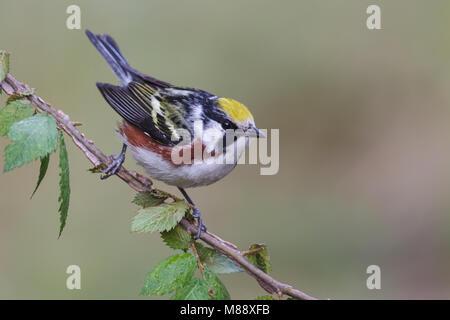 Mannetje Roestflankzanger, Male Chestnut-sided Warbler