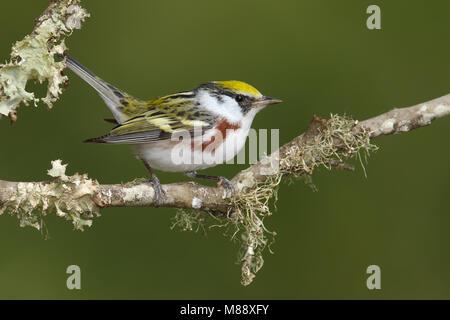 Vrouwtje Roestflankzanger, Female Chestnut-sided Warbler