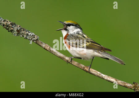 Adult male breeding Chippewa Co., MI June 2007