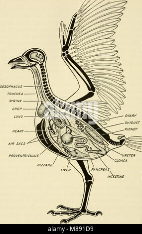 Elements of biology, with special reference to their rôle in the lives of animals (1933) (20617938354) - Stock Photo