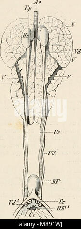 Elements of the comparative anatomy of vertebrates (1886) (20624070173) - Stock Photo