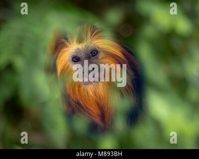 Golden-headed lion tamarin Leontopithecus chrysomelas - Stock Photo