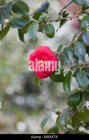 Camellia japonica flower in march. UK - Stock Photo