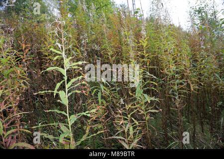 Blooming Willow herb Ivan tea fireweed Epilobium angustifolium background - Stock Photo