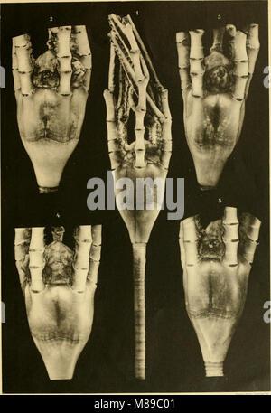Die gestielten Crinoiden der Deutschen Tiefsee-Expedition (1912) (20925996815) - Stock Photo
