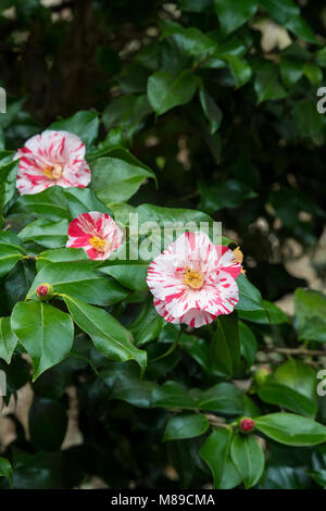 Camellia japonica 'Courtesan' flower in march. Bright red, anemone-form double flowers. UK - Stock Photo
