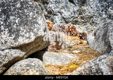 Squirrel holds a wrapper left by a tourist in Yosemite National Park, California, USA. Stock Photo