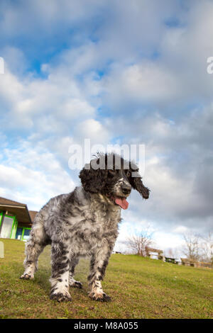 Portrait, low-angle shot of one English springer spaniel, tongue sticking out, enjoying activities (waiting for - Stock Photo