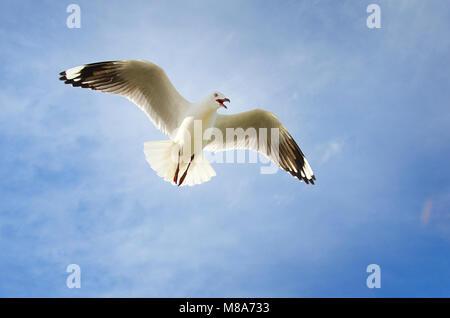 Silver gull (Chroicocephalus novaehollandiae) in flight showing territorial display - Stock Photo
