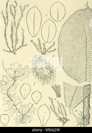 Die Musci der Flora von Buitenzorg - zugleich Laubmoosflora von Java (1900-1922.) (20310695404) - Stock Photo