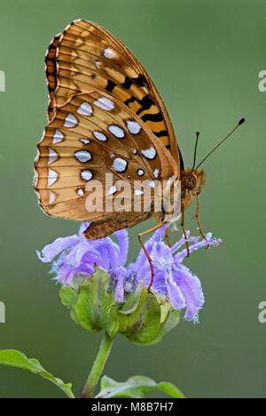 Great Spangled Fritillary Butterfly (Speyeria cybele) on Wild Bergamot (Monarda fistulosa) Eastern United States, - Stock Photo