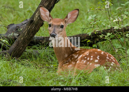 White-tailed Deer,(Odocoileus virginianus), Fawn, Spring, Eastern Deciduous forest, E USA, by Skip Moody/Dembinsky - Stock Photo