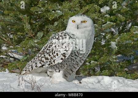 Snowy Owl (Bubo scandiacus), Winter, North America, by Skip Moody/Dembinsky Photo Assoc - Stock Photo
