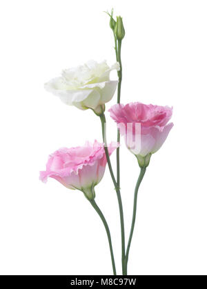 Three flowers isolated on white. eustoma - Stock Photo