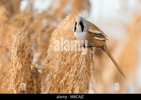 Baardman; Bearded Reedling; Panurus biarmicus - Stock Photo