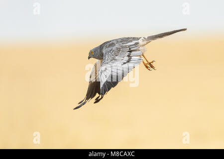 Male Montagu's Harrier (Circus pygargus) flying over a wheat field - Stock Photo