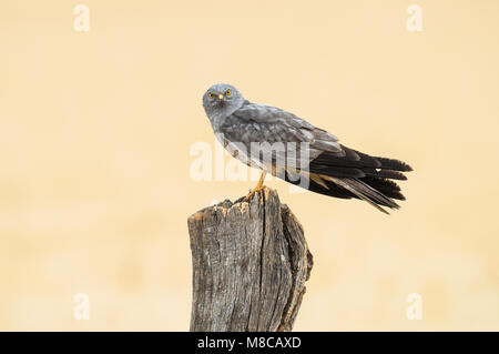 Male Montagu's Harrier (Circus pygargus) perched on a pole in Spain - Stock Photo