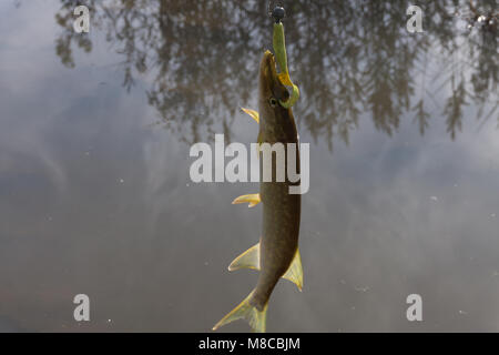 Pike caught on wobbler. Fishing on the lake - Stock Photo