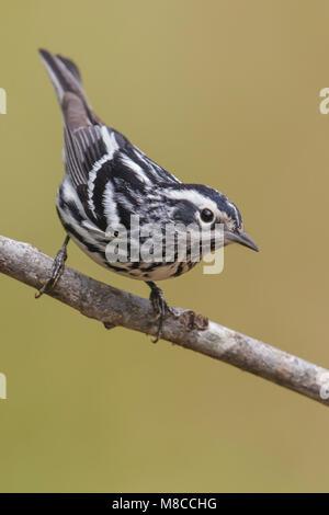 Bonte Zanger, Black-and-white Warbler, Mniotilta varia - Stock Photo