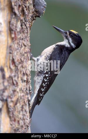 Adult male Sierra Co., CA June 1999 - Stock Photo