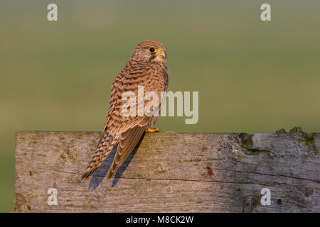Vrouwtje Torenvalk op hek; Female Common Kestrel on a gate - Stock Photo