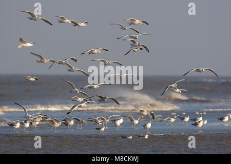 Zilvermeeuwen terugkerend op het strand; € Herring Gulls returning on the beach - Stock Photo
