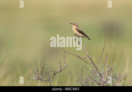 Northern Wheatear female perched; Tapuit vrouw zittend - Stock Photo