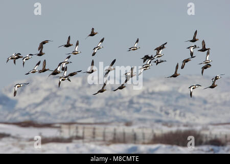 Groep Stellers Eiders in de vlucht; Group of Steller's Eider in flight - Stock Photo