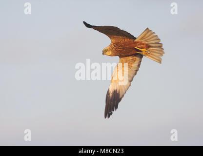 Bruine Kiekendief mannetje vliegend; Western Marsh Harrier male flying - Stock Photo