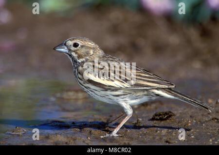 Adult female breeding Weld Co., CO June 2000 - Stock Photo
