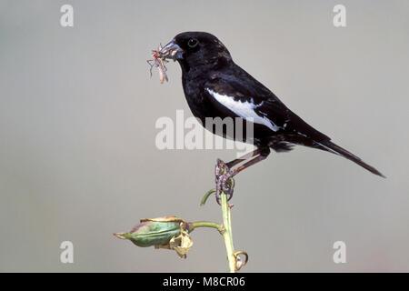 Adult male breeding Weld Co., CO June 2000 - Stock Photo