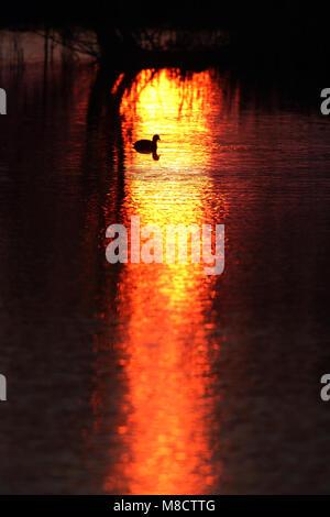 Meerkoet in ochtendgloren, Eurasian Coot in sunrise - Stock Photo
