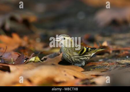 Sijs bij een drinkplaats; Eurasian Siskin at drinking place - Stock Photo