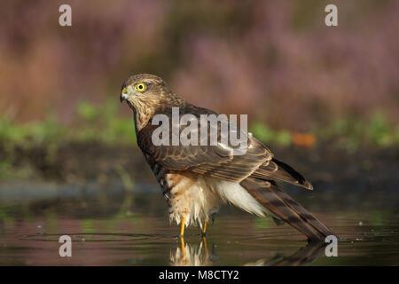 Juveniele Sperwer badderend; Juvenile Eurasian Sparrowhawk bathing - Stock Photo