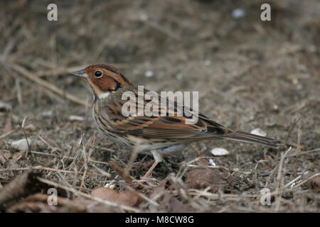 Dwerggors op grond foeragerend,Little Bunting on ground foraging, - Stock Photo