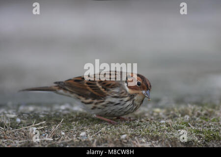Dwerggors op grond foeragerend, Little Bunting on ground foraging - Stock Photo