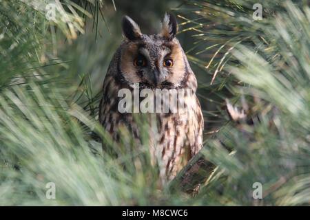 Ransuil zittend op tak; Long-eared Owl perched on branch - Stock Photo