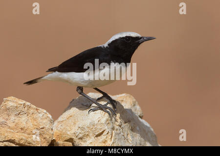 Finsch Tapuit zittend op rots; Finschs Wheatear perched on rock - Stock Photo