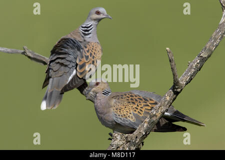 Turtle Dove pair perched on branch; Zomertortel paar zittend op tak - Stock Photo
