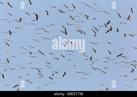 Ooievaar in de vlucht; White Stork in flight - Stock Photo