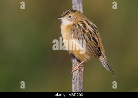 Graszanger op takje; Zitting Cisticola perched on branch - Stock Photo