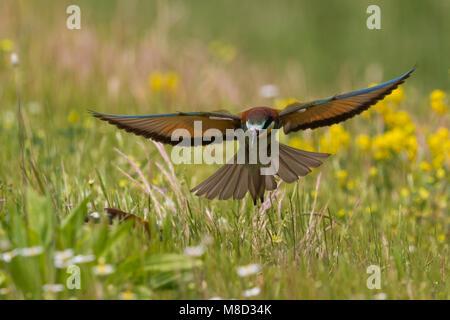 Bijeneter in vlucht, European Bee-eater in flight - Stock Photo